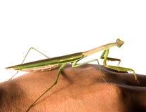 绿色Hierodula patellifera共同的名字巨人亚洲,印度支那或者Harabiro螳螂,是螳螂的种类 免版税库存图片