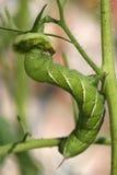 绿色hornworm蕃茄 图库摄影