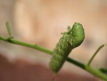 绿色hornworm蕃茄 库存图片