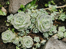 绿色houseleek sempervivum tectorum 免版税库存照片