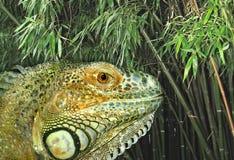 绿色iguane 库存图片