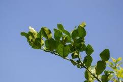 绿色kiffir石灰叶子在庭院里 免版税图库摄影