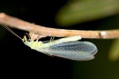 绿色lacewing 库存图片