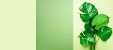 绿色monstera在橄榄绿背景离开与拷贝空间 顶视图 最小的设计 异乎寻常的工厂 创造性的夏天 库存图片