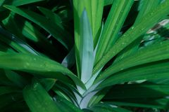 绿色pandan叶子,叶子背景,自然概念的关闭 免版税库存图片
