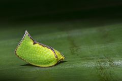 绿色Planthopper Siphanta acuta的图象在绿色叶子的 免版税库存图片