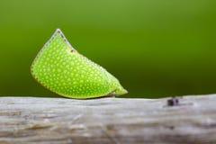 绿色Planthopper Siphanta acuta的图象在自然背景的 库存照片