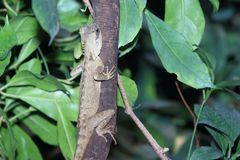绿色pricklenape蜥蜴 免版税库存图片