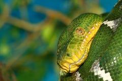 绿色Python结构树 免版税库存照片