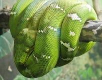 绿色Python结构树 图库摄影