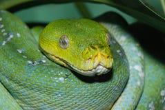 绿色Python结构树 库存图片
