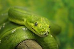 绿色Python结构树 库存照片