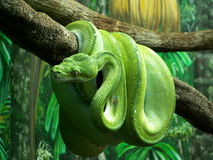 绿色Python 免版税库存照片