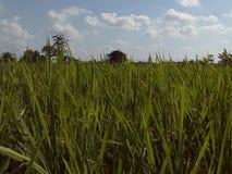 绿色ricefield照片 免版税库存照片
