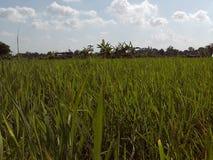 绿色ricefield照片 免版税图库摄影