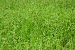 绿色ricefield背景 免版税库存图片