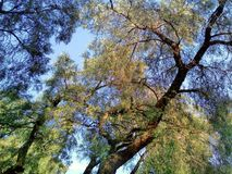 绿色Roble, Stong和很富有在如此叶子自然上 库存图片