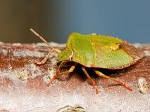 绿色shieldbug 库存图片