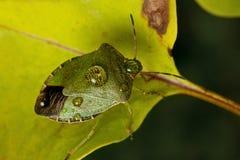 绿色shieldbug 免版税库存照片