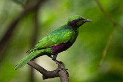 绿色starling 图库摄影