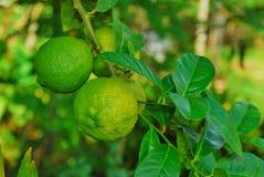 绿色tanjarine石灰柠檬 库存图片