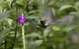 绿色Thorntail蜂鸟Discosura conversii 免版税图库摄影