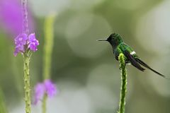 绿色Thorntail,坐花在庭院里,从山热带森林,哥斯达黎加,自然生态环境,美丽的蜂鸟的鸟 免版税库存图片