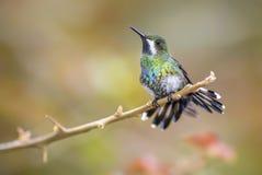 绿色Thorntail - Discosura conversii 库存照片
