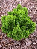 绿色thuya结构树 库存图片