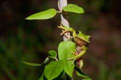 绿色Treefrog 免版税库存图片