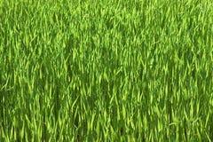 绿色wheatfield 库存图片