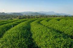 绿茶农厂曲线在清莱省,泰国 免版税库存图片