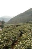 绿茶种植园在中国 免版税库存照片