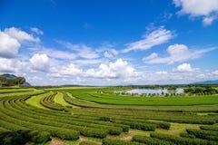 绿茶种植园在泰国 免版税库存照片