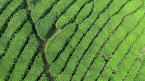 绿茶种植园空中录影是Boseong市,韩国附近找出山坡 从寄生虫的空中录影 股票录像