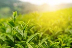 绿茶芽和新鲜的叶子有柔光的,茶园 免版税库存照片