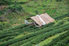 绿茶领域和竹子小屋 免版税图库摄影