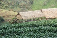 绿茶领域和竹子小屋 库存图片
