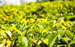 绿茶 库存图片