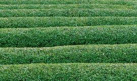 绿茶texture2 免版税库存图片