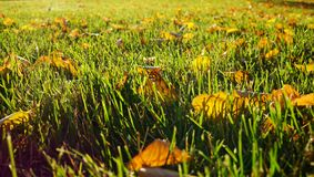 绿草与秋天叶子和与阳光通过叶子 免版税库存图片