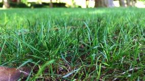 绿草叶子摇动在大风天 股票视频