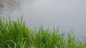 绿草和灰色石头在河 在一条镇静河的晴天在夏天 在湖的仓促 免版税库存照片