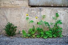 绿草和黄色蒲公英通过从基础的沥青增长,对一个老砖房子的墙壁有金属的 库存图片