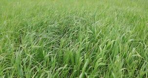 绿草在夏天自白天 股票视频
