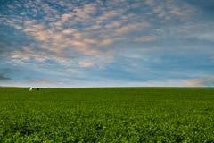 绿草在蓝天下,与两匹马,一黑和在wh 库存照片