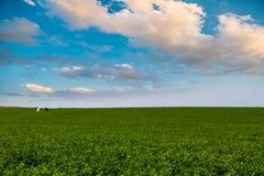 绿草在蓝天下,与两匹马,一黑和在wh 图库摄影