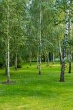 绿草地毯的桦树树丛  免版税库存照片