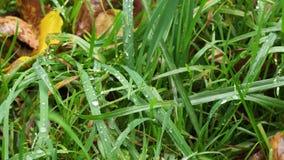 绿草湿刀片在草坪的在秋天下雨 股票视频