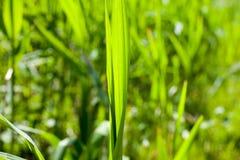 绿草特写镜头在夏天 库存照片